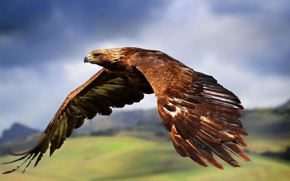 8257__golden-eagle-in-flight_p